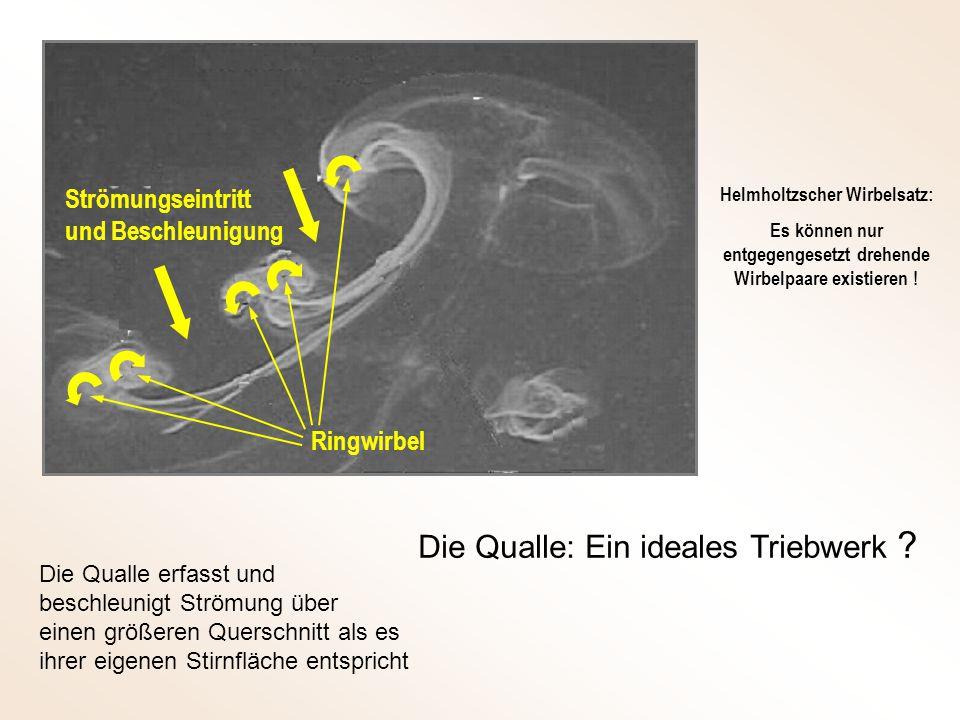 Strömungseintritt und Beschleunigung Die Qualle: Ein ideales Triebwerk ? Die Qualle erfasst und beschleunigt Strömung über einen größeren Querschnitt