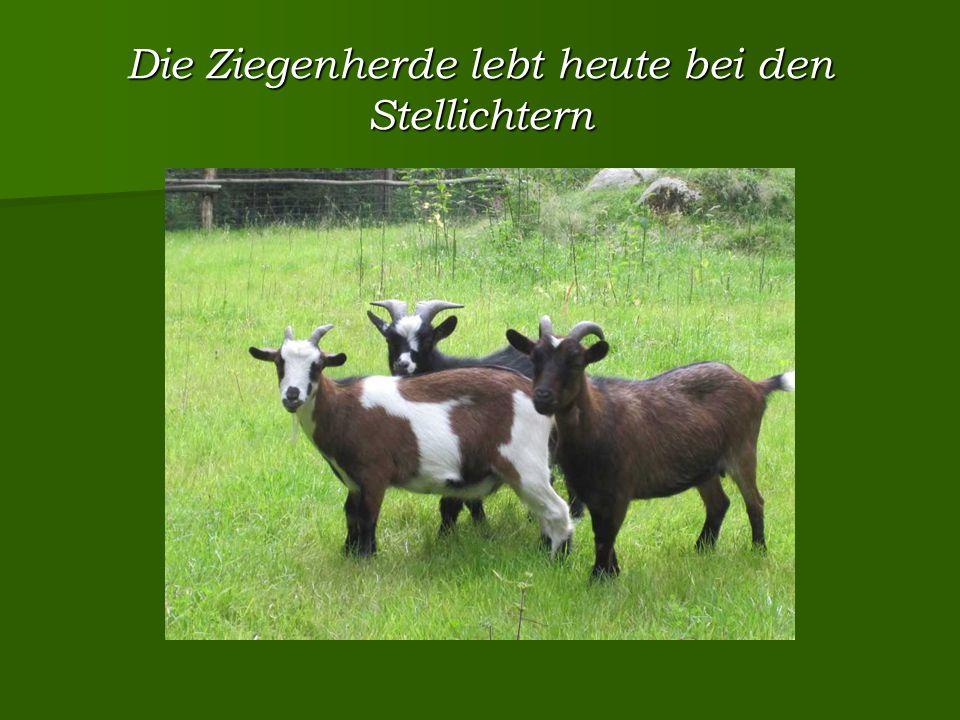 Die Ziegenherde lebt heute bei den Stellichtern