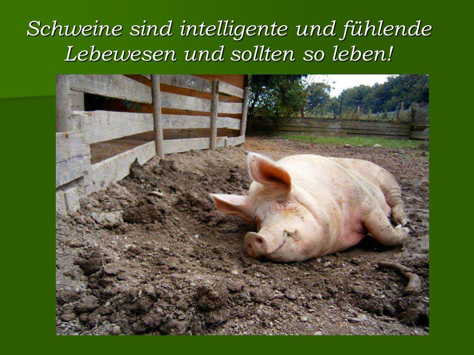 Schweine sind intelligente und fühlende Lebewesen und sollten so leben!