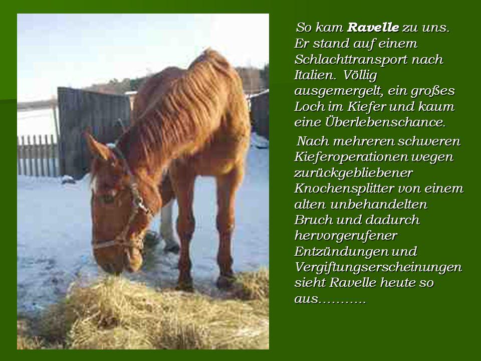 So kam Ravelle zu uns. Er stand auf einem Schlachttransport nach Italien.