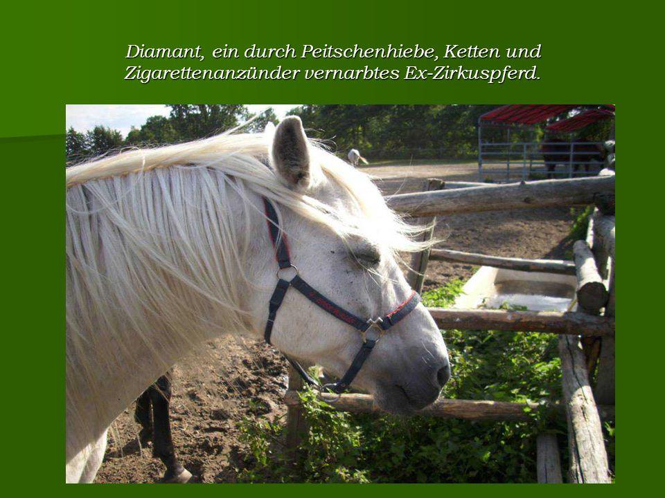 Diamant, ein durch Peitschenhiebe, Ketten und Zigarettenanzünder vernarbtes Ex-Zirkuspferd.