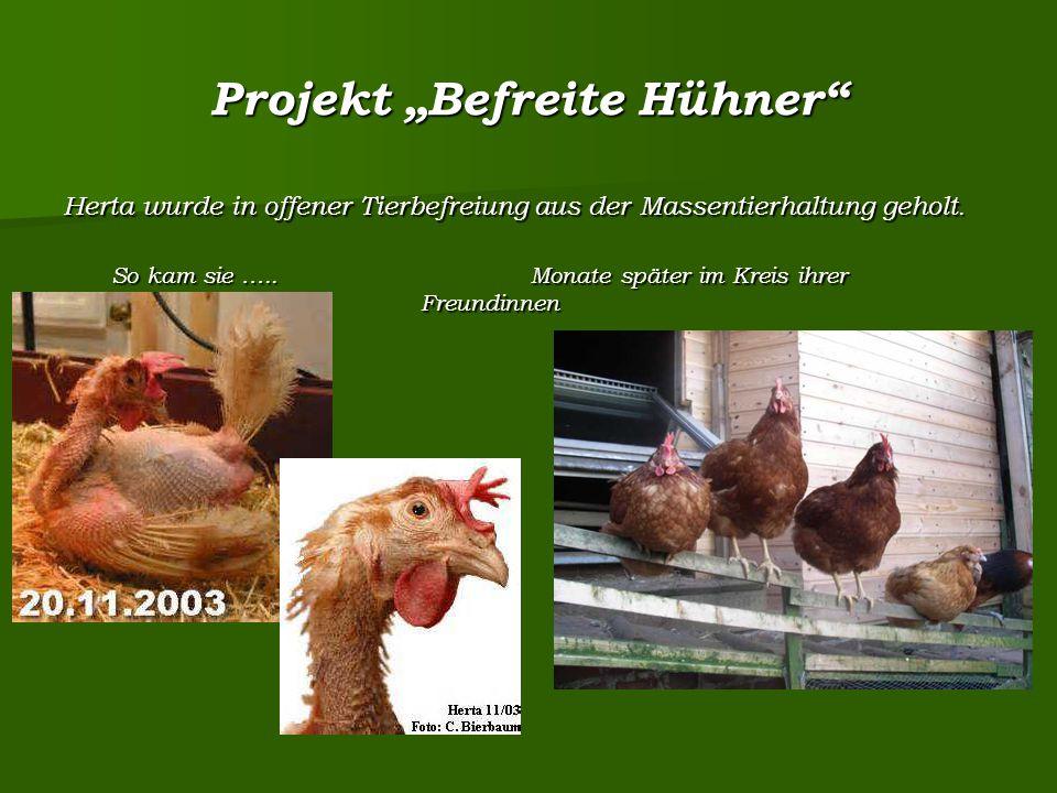 """Projekt """"Befreite Hühner Herta wurde in offener Tierbefreiung aus der Massentierhaltung geholt."""