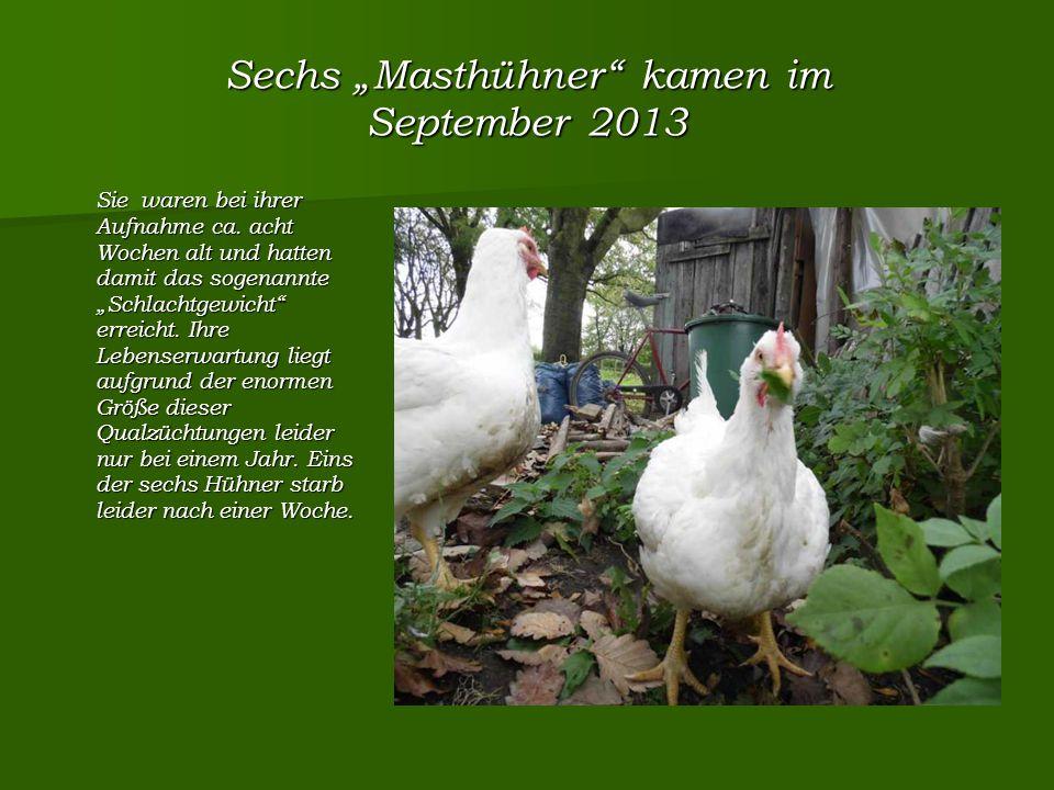 """Sechs """"Masthühner kamen im September 2013 Sie waren bei ihrer Aufnahme ca."""