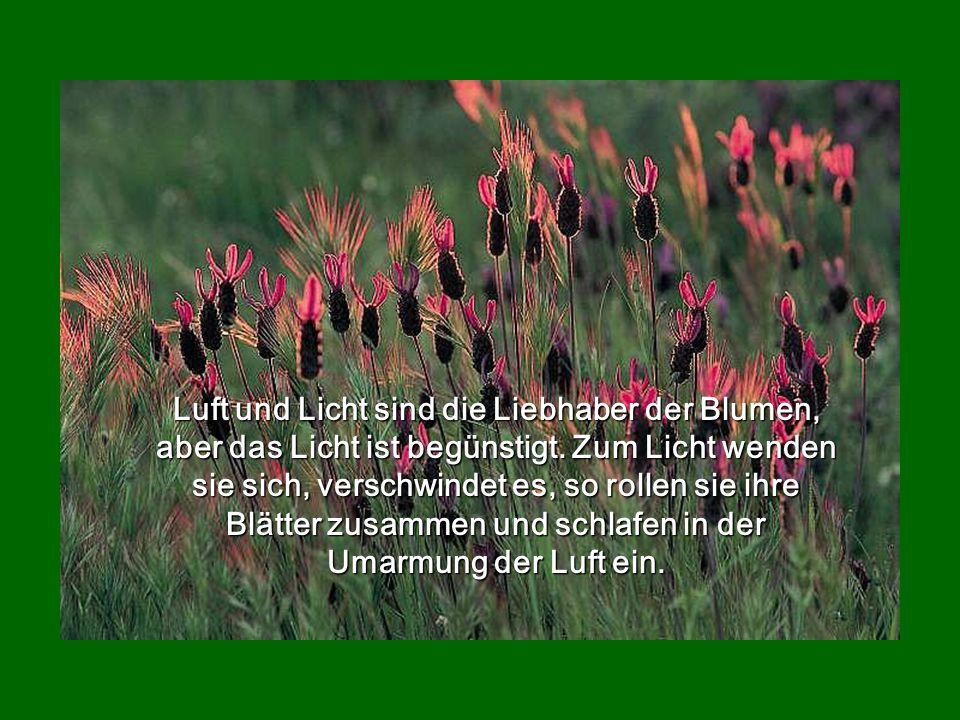 Luft und Licht sind die Liebhaber der Blumen, aber das Licht ist begünstigt.