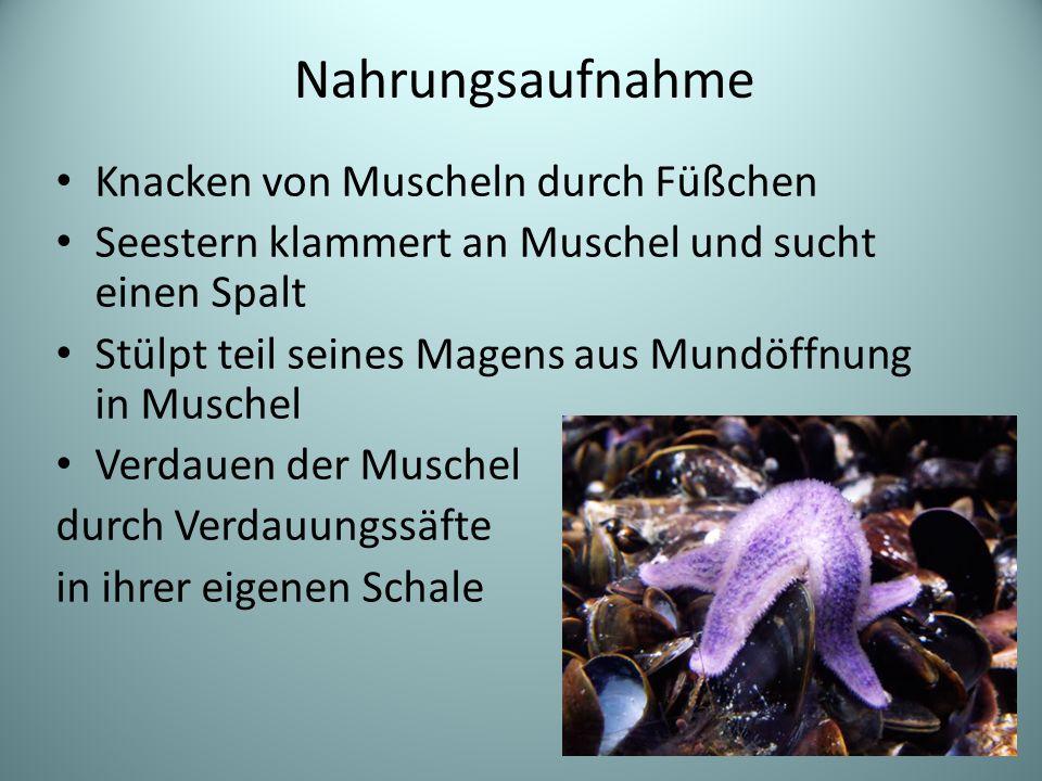 Knacken von Muscheln durch Füßchen Seestern klammert an Muschel und sucht einen Spalt Stülpt teil seines Magens aus Mundöffnung in Muschel Verdauen der Muschel durch Verdauungssäfte in ihrer eigenen Schale Nahrungsaufnahme