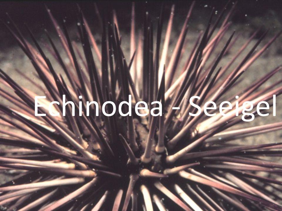 Echinodea - Seeigel