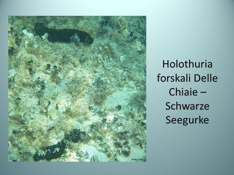 Holothuria forskali Delle Chiaie – Schwarze Seegurke