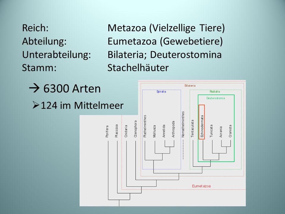  6300 Arten  124 im Mittelmeer Reich: Metazoa (Vielzellige Tiere) Abteilung:Eumetazoa (Gewebetiere) Unterabteilung: Bilateria; Deuterostomina Stamm: Stachelhäuter