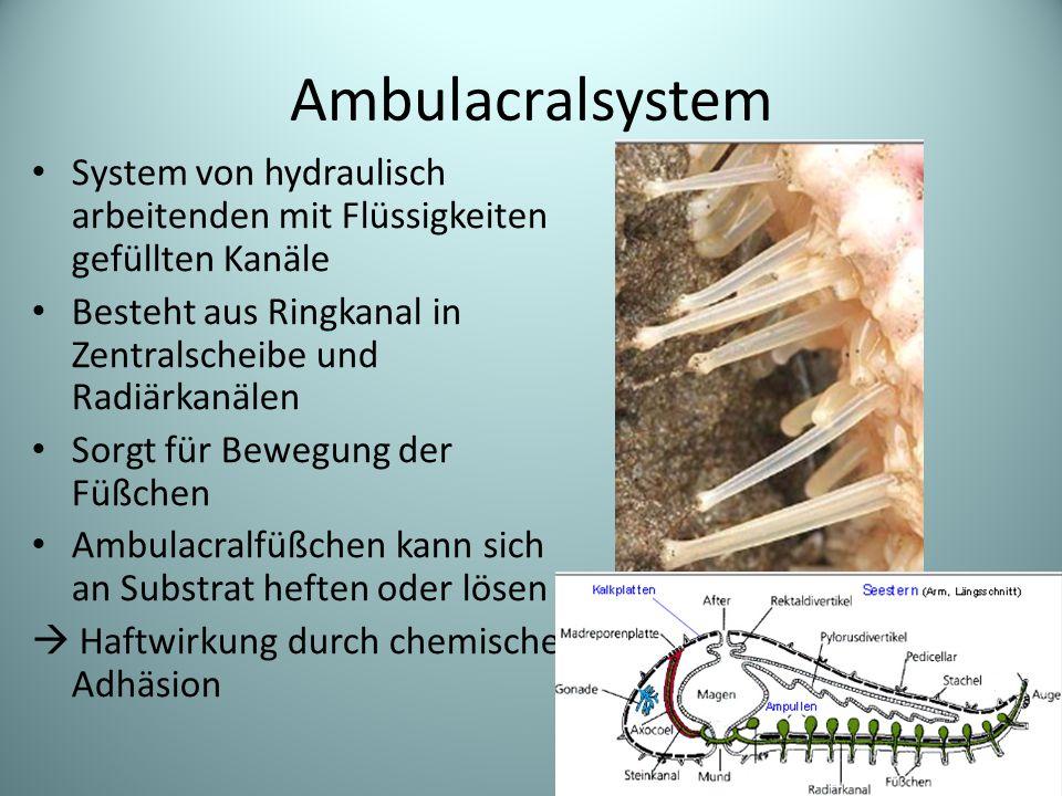 Ambulacralsystem System von hydraulisch arbeitenden mit Flüssigkeiten gefüllten Kanäle Besteht aus Ringkanal in Zentralscheibe und Radiärkanälen Sorgt für Bewegung der Füßchen Ambulacralfüßchen kann sich an Substrat heften oder lösen  Haftwirkung durch chemische Adhäsion