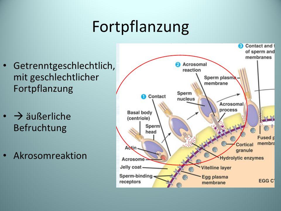 Fortpflanzung Getrenntgeschlechtlich, mit geschlechtlicher Fortpflanzung  äußerliche Befruchtung Akrosomreaktion
