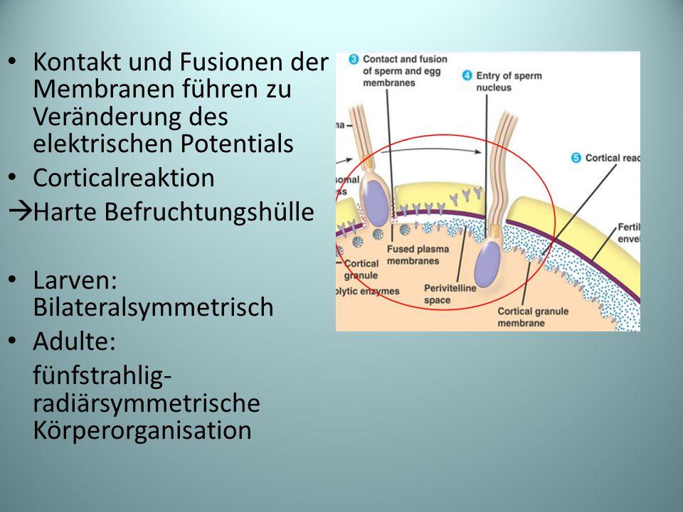 Kontakt und Fusionen der Membranen führen zu Veränderung des elektrischen Potentials Corticalreaktion  Harte Befruchtungshülle Larven: Bilateralsymmetrisch Adulte: fünfstrahlig- radiärsymmetrische Körperorganisation