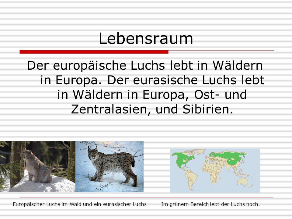 Lebensraum Der europäische Luchs lebt in Wäldern in Europa. Der eurasische Luchs lebt in Wäldern in Europa, Ost- und Zentralasien, und Sibirien. Europ