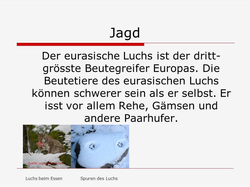 Jagd Der eurasische Luchs ist der dritt- grösste Beutegreifer Europas. Die Beutetiere des eurasischen Luchs können schwerer sein als er selbst. Er iss
