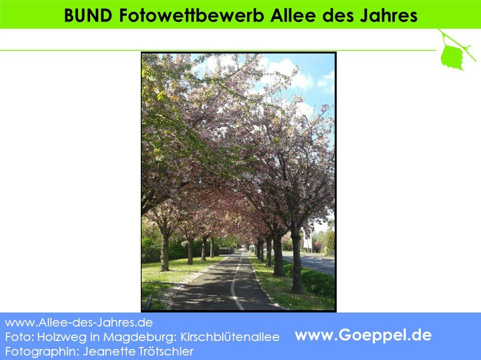 www.Goeppel.de BUND Fotowettbewerb Allee des Jahres www.Allee-des-Jahres.de Foto: Holzweg in Magdeburg: Kirschblütenallee Fotographin: Jeanette Trötschler