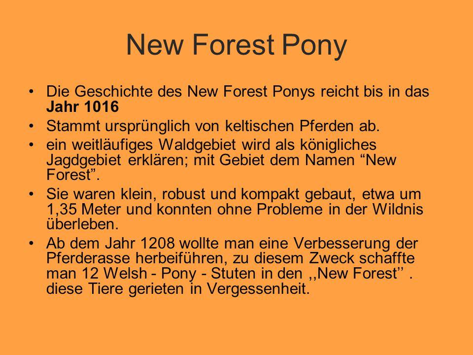 New Forest Pony Die Geschichte des New Forest Ponys reicht bis in das Jahr 1016 Stammt ursprünglich von keltischen Pferden ab.