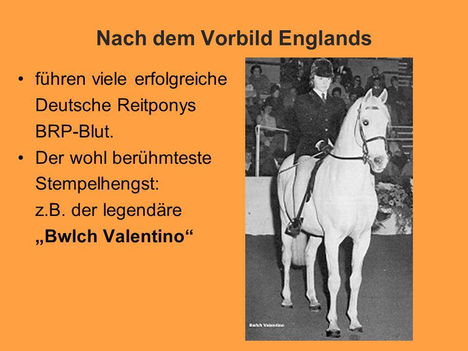 Nach dem Vorbild Englands führen viele erfolgreiche Deutsche Reitponys BRP-Blut.