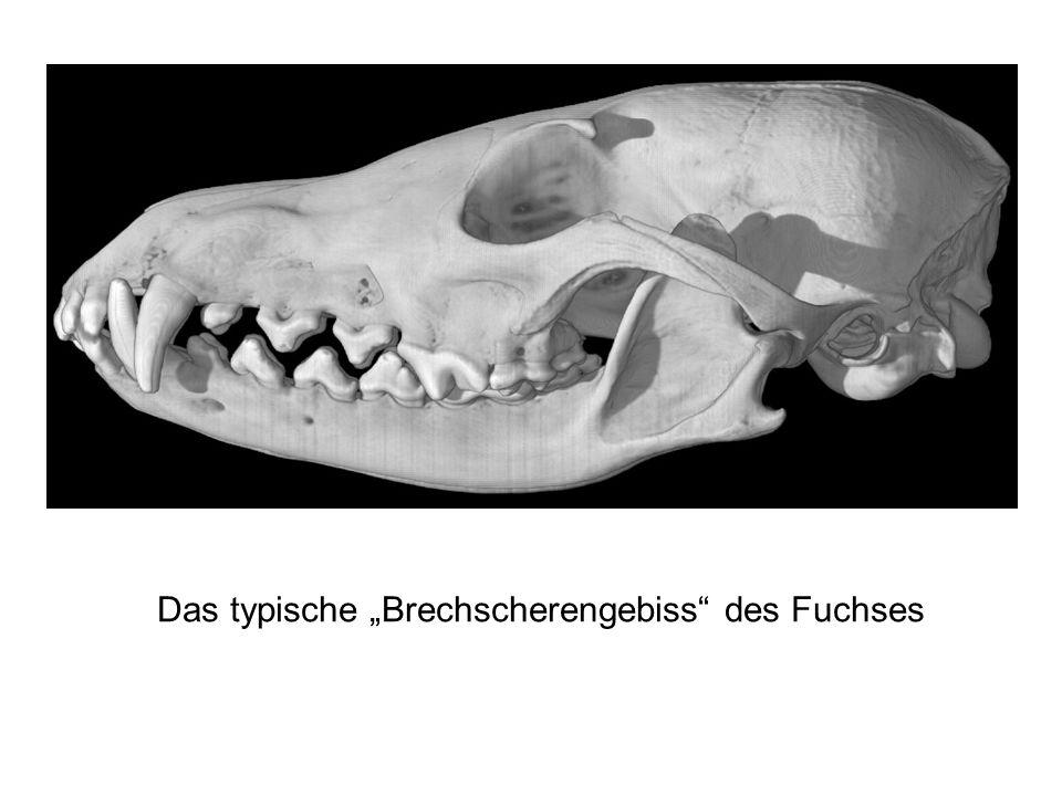 """Das typische """"Brechscherengebiss"""" des Fuchses"""