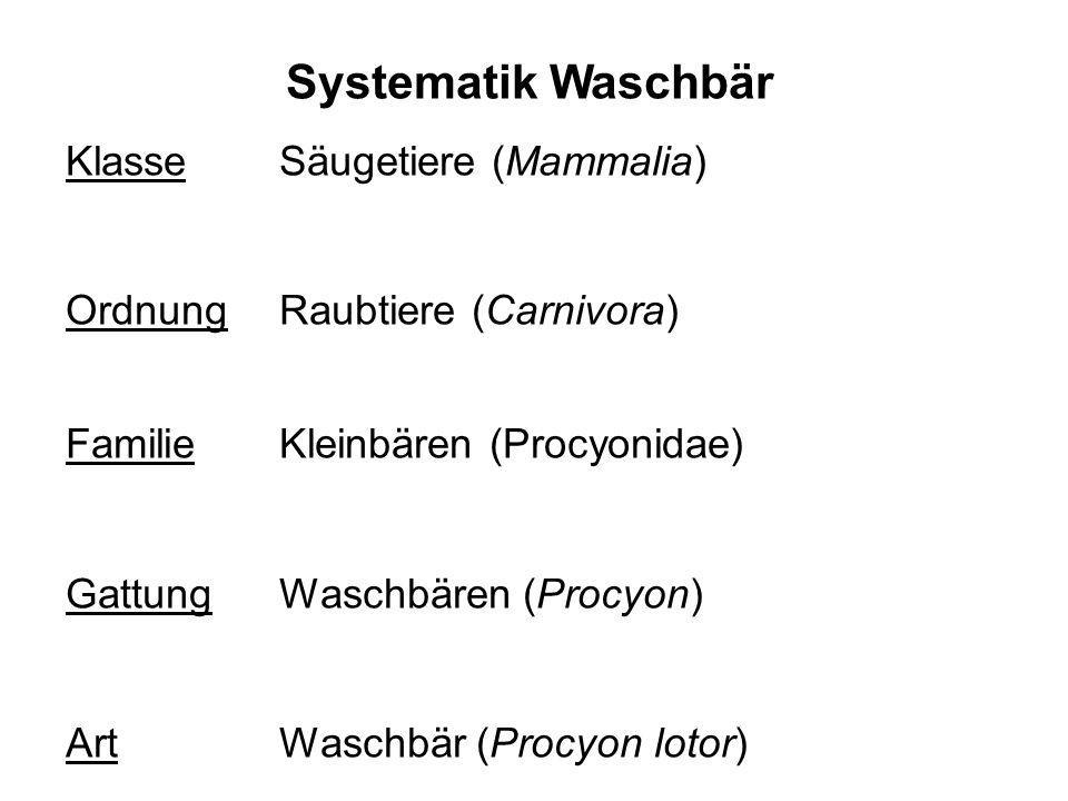 Systematik Waschbär Klasse Säugetiere (Mammalia) OrdnungRaubtiere (Carnivora) FamilieKleinbären (Procyonidae) GattungWaschbären (Procyon) ArtWaschbär