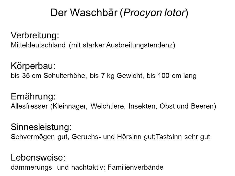 Der Waschbär (Procyon lotor) Verbreitung: Mitteldeutschland (mit starker Ausbreitungstendenz) Körperbau: bis 35 cm Schulterhöhe, bis 7 kg Gewicht, bis