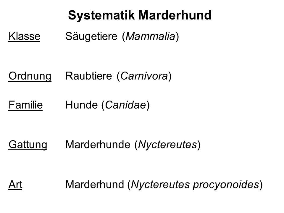 Systematik Marderhund Klasse Säugetiere (Mammalia) OrdnungRaubtiere (Carnivora) Familie Hunde (Canidae) GattungMarderhunde (Nyctereutes) ArtMarderhund