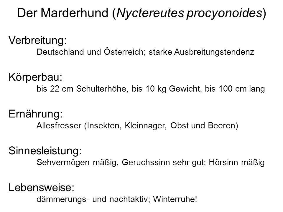 Der Marderhund (Nyctereutes procyonoides) Verbreitung: Deutschland und Österreich; starke Ausbreitungstendenz Körperbau: bis 22 cm Schulterhöhe, bis 1