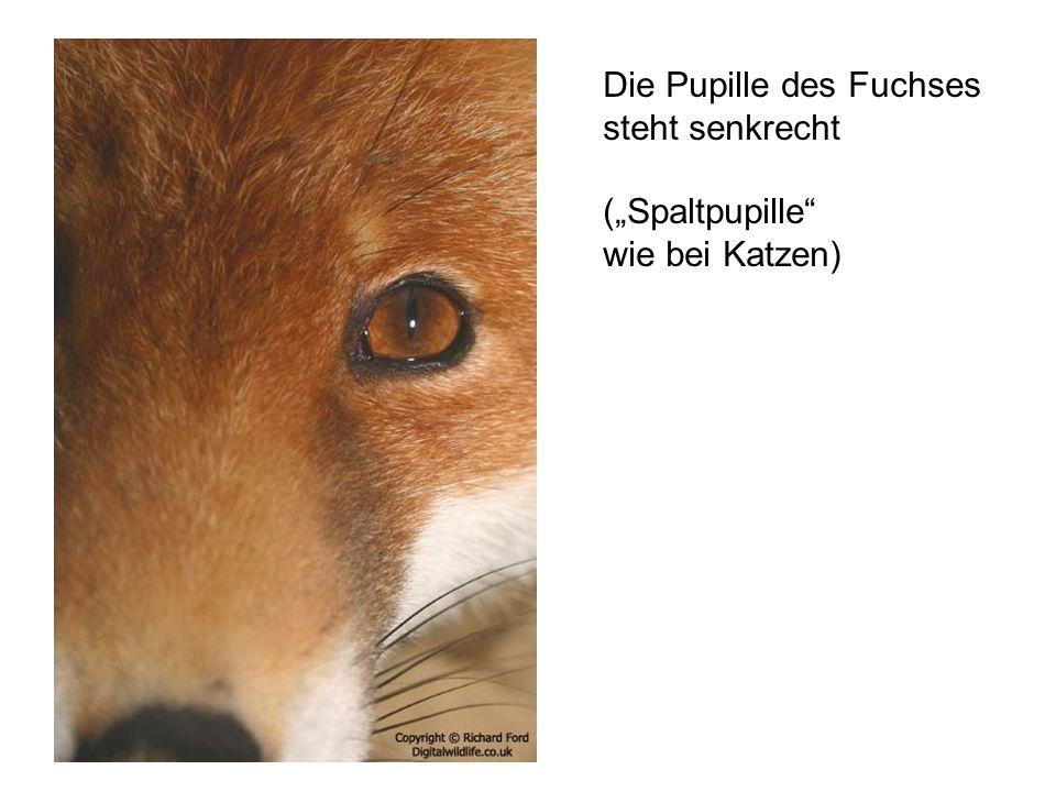"""Die Pupille des Fuchses steht senkrecht (""""Spaltpupille"""" wie bei Katzen)"""