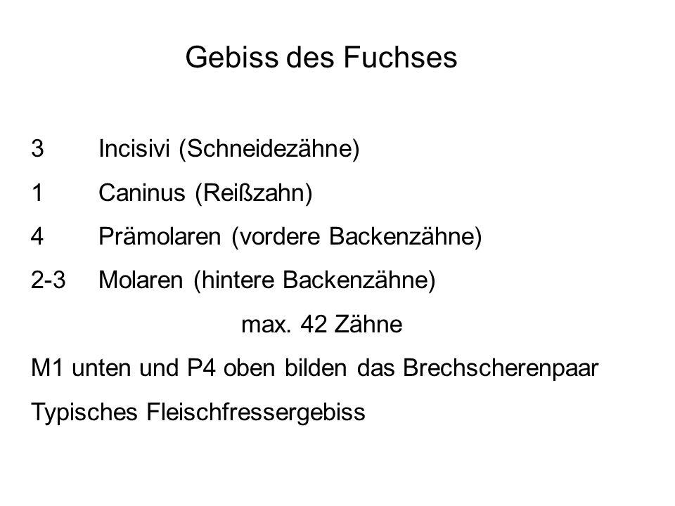 Gebiss des Fuchses 3 Incisivi (Schneidezähne) 1 Caninus (Reißzahn) 4 Prämolaren (vordere Backenzähne) 2-3 Molaren (hintere Backenzähne) max. 42 Zähne