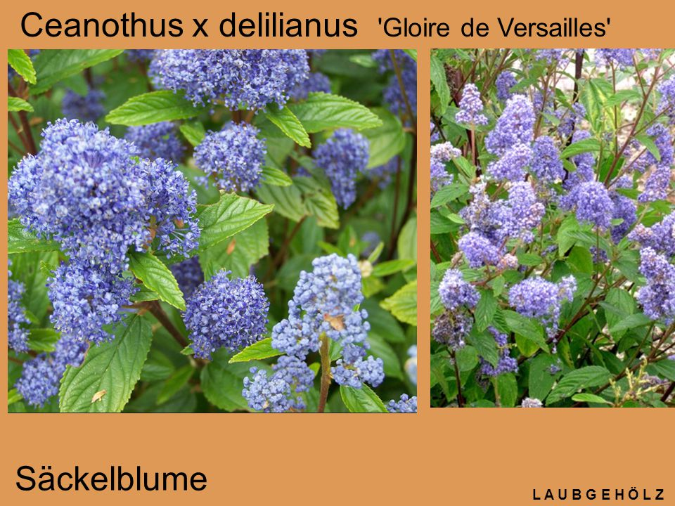 L A U B G E H Ö L Z Ceanothus x delilianus 'Gloire de Versailles' Säckelblume