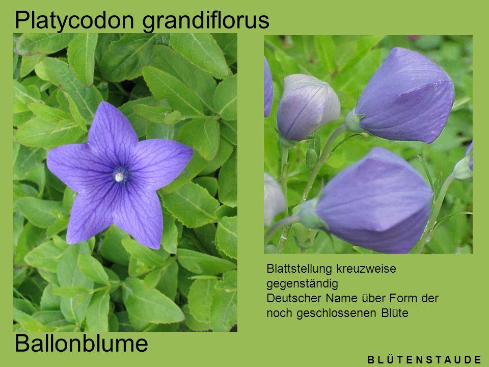 B L Ü T E N S T A U D E Platycodon grandiflorus Ballonblume Blattstellung kreuzweise gegenständig Deutscher Name über Form der noch geschlossenen Blüt