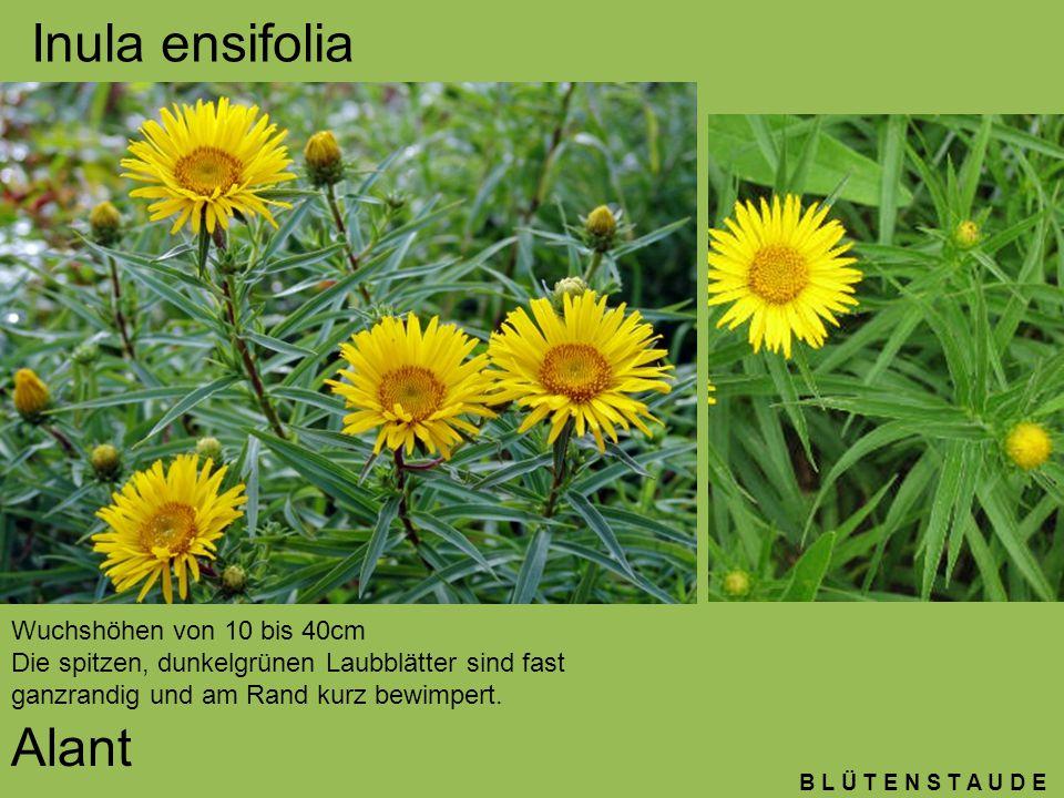 B L Ü T E N S T A U D E Inula ensifolia Alant Wuchshöhen von 10 bis 40cm Die spitzen, dunkelgrünen Laubblätter sind fast ganzrandig und am Rand kurz b