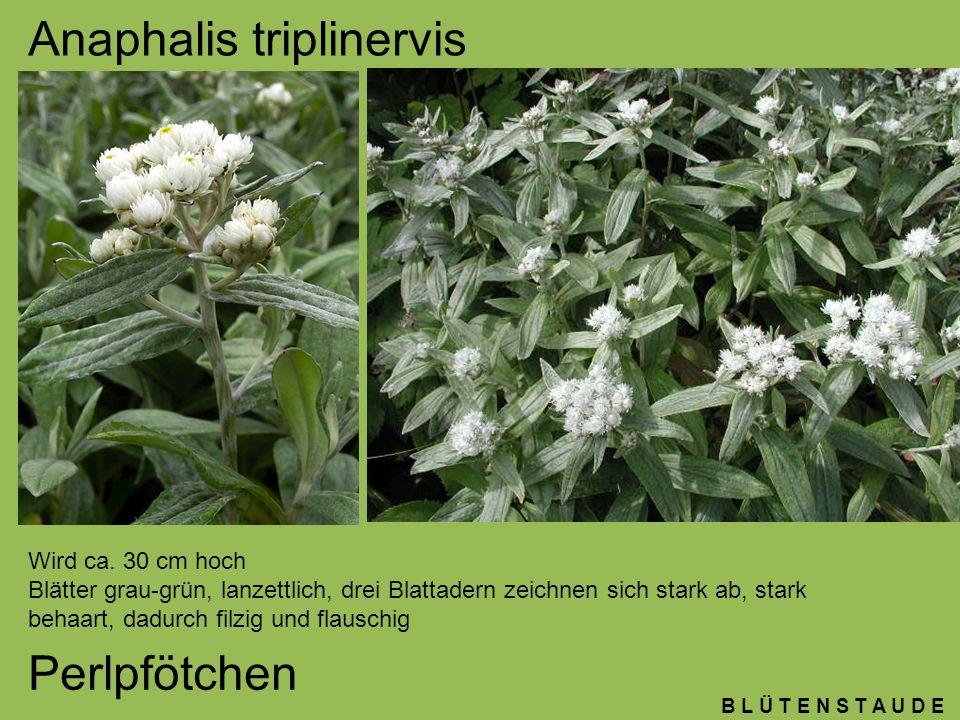 B L Ü T E N S T A U D E Anaphalis triplinervis Perlpfötchen Wird ca. 30 cm hoch Blätter grau-grün, lanzettlich, drei Blattadern zeichnen sich stark ab