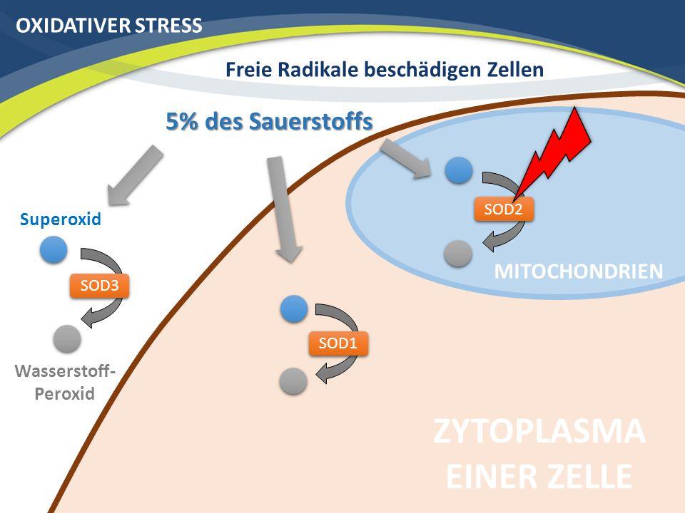 OXIDATIVER STRESS Freie Radikale beschädigen Zellen ZYTOPLASMA EINER ZELLE Superoxid Wasserstoff- Peroxid SOD2 SOD1 SOD3 5% des Sauerstoffs MITOCHONDR