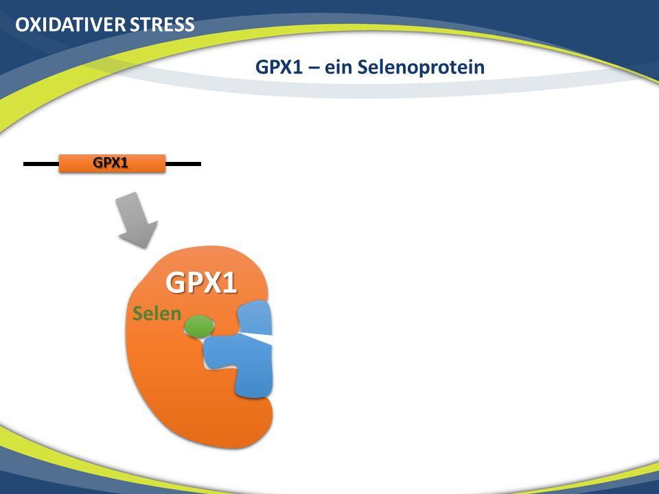 OXIDATIVER STRESS GPX1 – ein Selenoprotein GPX1 GPX1 Selen