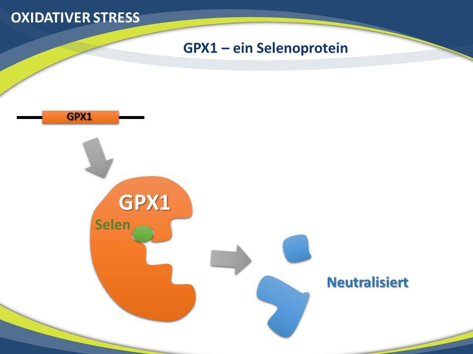 OXIDATIVER STRESS GPX1 – ein Selenoprotein GPX1 GPX1 Selen Neutralisiert