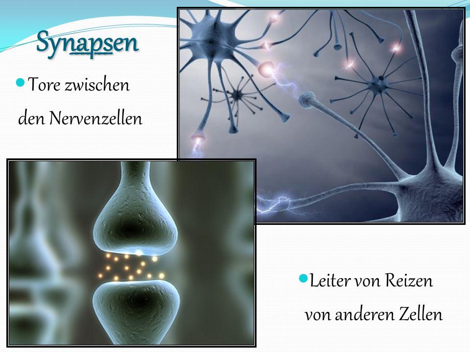 _______Synapsen Tore zwischen den Nervenzellen Leiter von Reizen von anderen Zellen