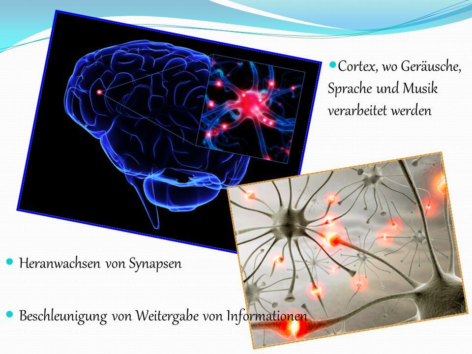 Cortex, wo Geräusche, Sprache und Musik verarbeitet werden Heranwachsen von Synapsen Beschleunigung von Weitergabe von Informationen