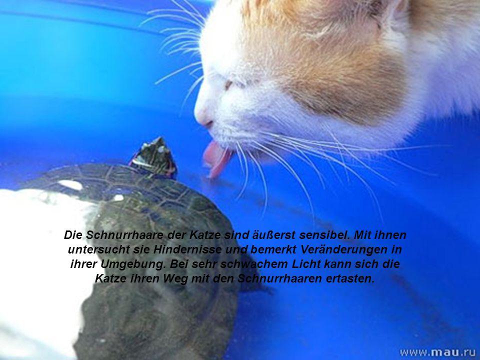 Die Schnurrhaare der Katze sind äußerst sensibel. Mit ihnen untersucht sie Hindernisse und bemerkt Veränderungen in ihrer Umgebung. Bei sehr schwachem