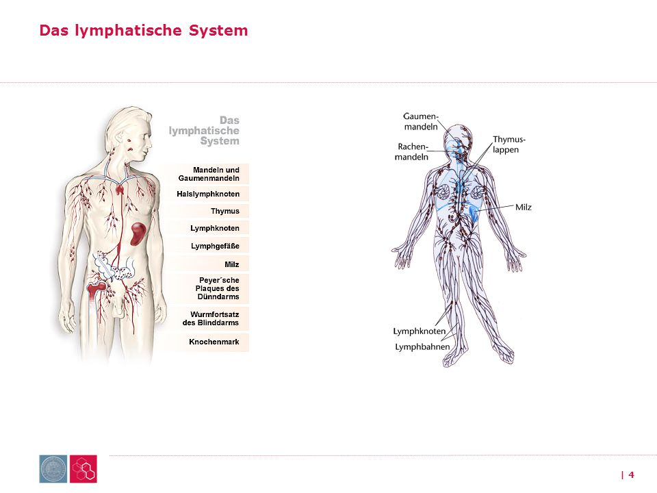 Multiples Myelom 1.Das lymphatische System 2.Diagnostik 3.Therapie 4.Praktische Ratschläge | 45