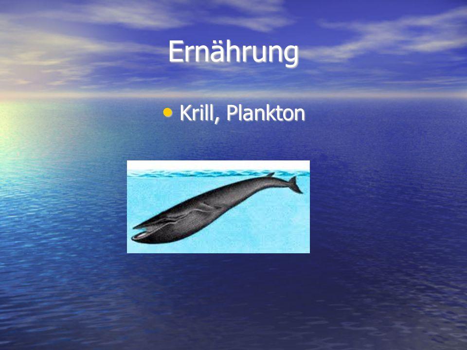 Ernährung Krill, Plankton Krill, Plankton