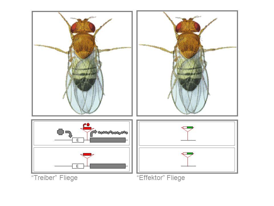 Effektor Fliege Treiber Fliege E E