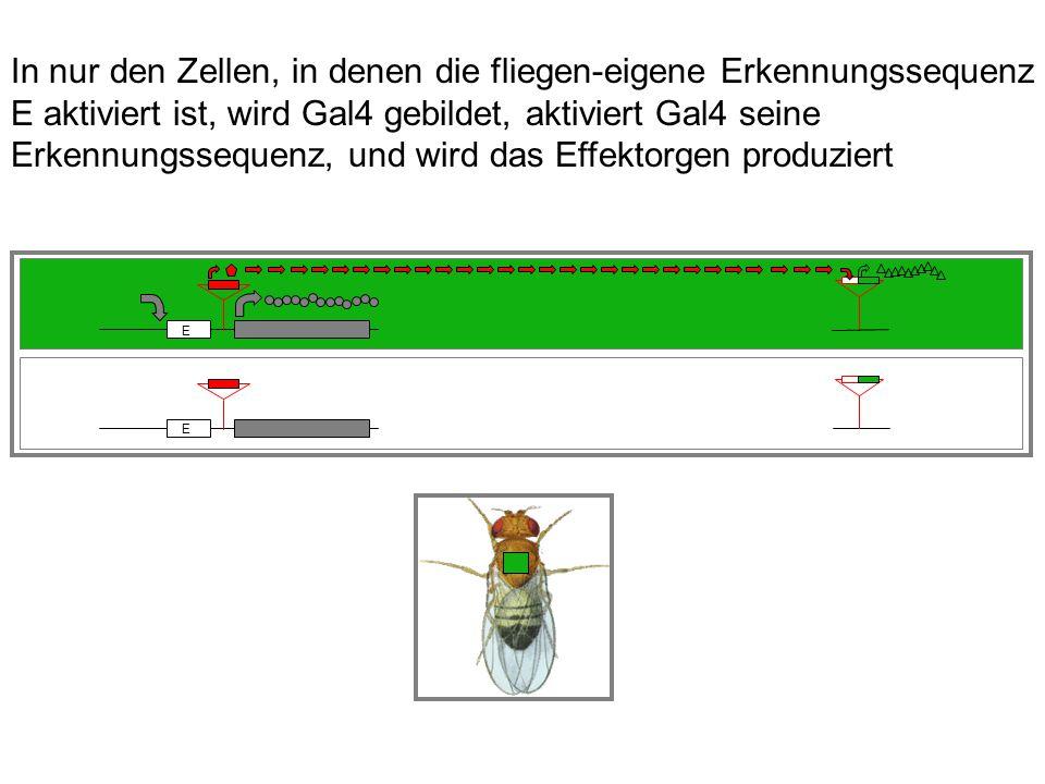 E E In nur den Zellen, in denen die fliegen-eigene Erkennungssequenz E aktiviert ist, wird Gal4 gebildet, aktiviert Gal4 seine Erkennungssequenz, und wird das Effektorgen produziert