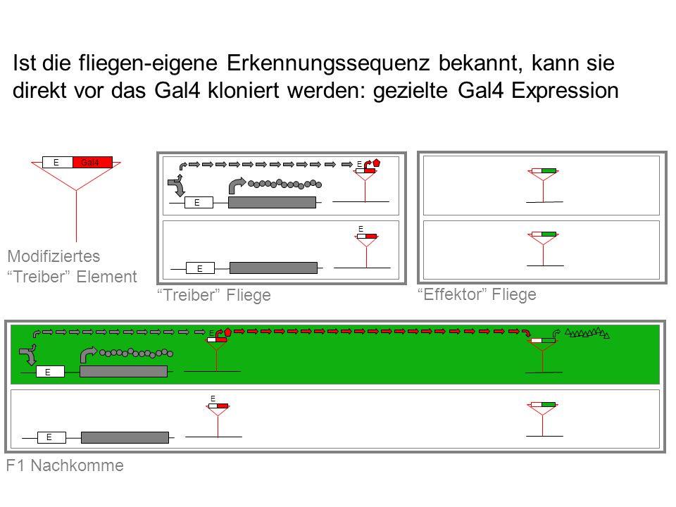 EGal4 Modifiziertes Treiber Element Effektor Fliege F1 Nachkomme E E E E Treiber Fliege E E E E Ist die fliegen-eigene Erkennungssequenz bekannt, kann sie direkt vor das Gal4 kloniert werden: gezielte Gal4 Expression