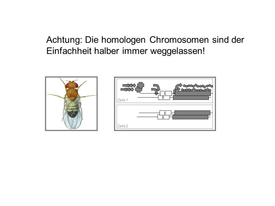 E Zelle 1 Zelle 2 E E E Achtung: Die homologen Chromosomen sind der Einfachheit halber immer weggelassen!