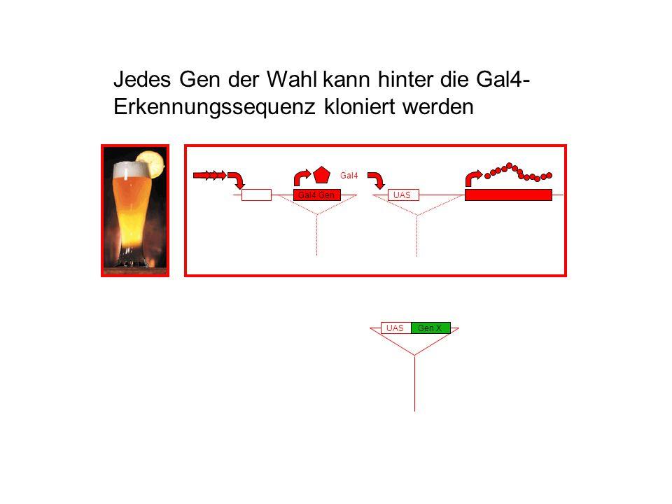 Gal4 UASGal4 Gen UASGen X Jedes Gen der Wahl kann hinter die Gal4- Erkennungssequenz kloniert werden