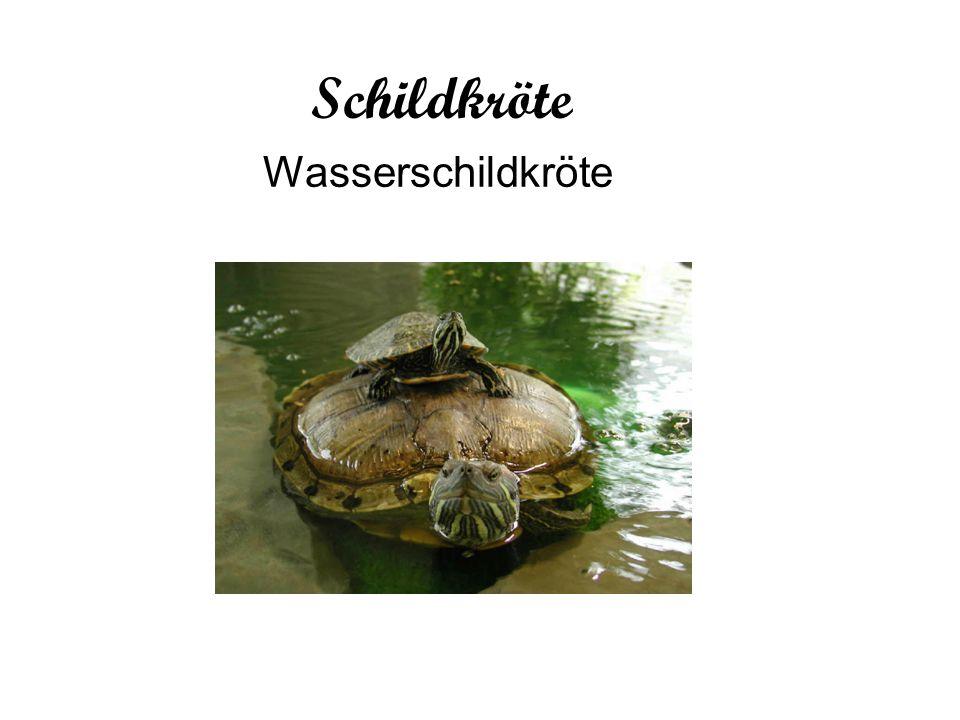 Wasserschildkrötenhaltung: Die optimale Stoffwechseltemperatur für Wasserschildkröten beträgt 29-33 Grad; die Eier der Wasserschildkröten entwickeln sich nur bei 28-31 Grad.