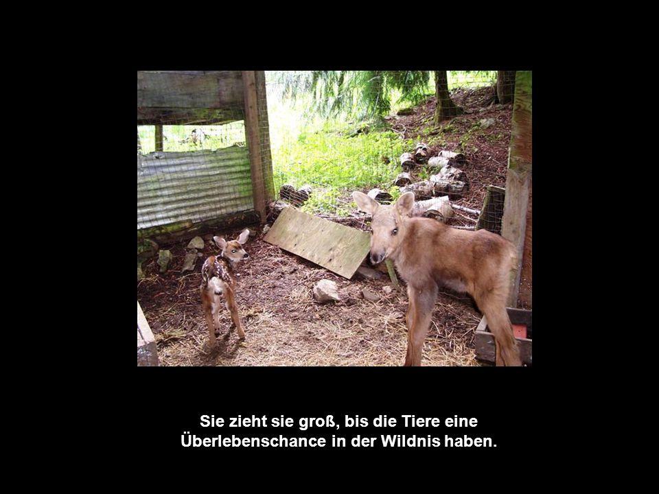 Sein neues Zuhause ist in Blewett, bei Helen Jamieson, die ein Gehege für Tierwaisen hat.