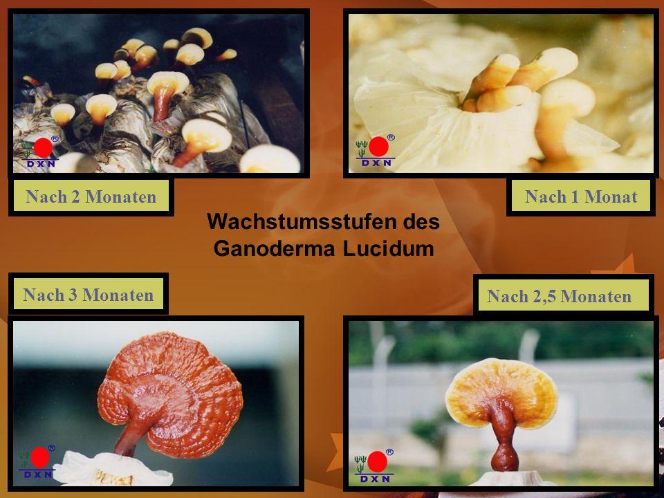 Nach 2 MonatenNach 1 Monat Nach 3 Monaten Nach 2,5 Monaten Wachstumsstufen des Ganoderma Lucidum