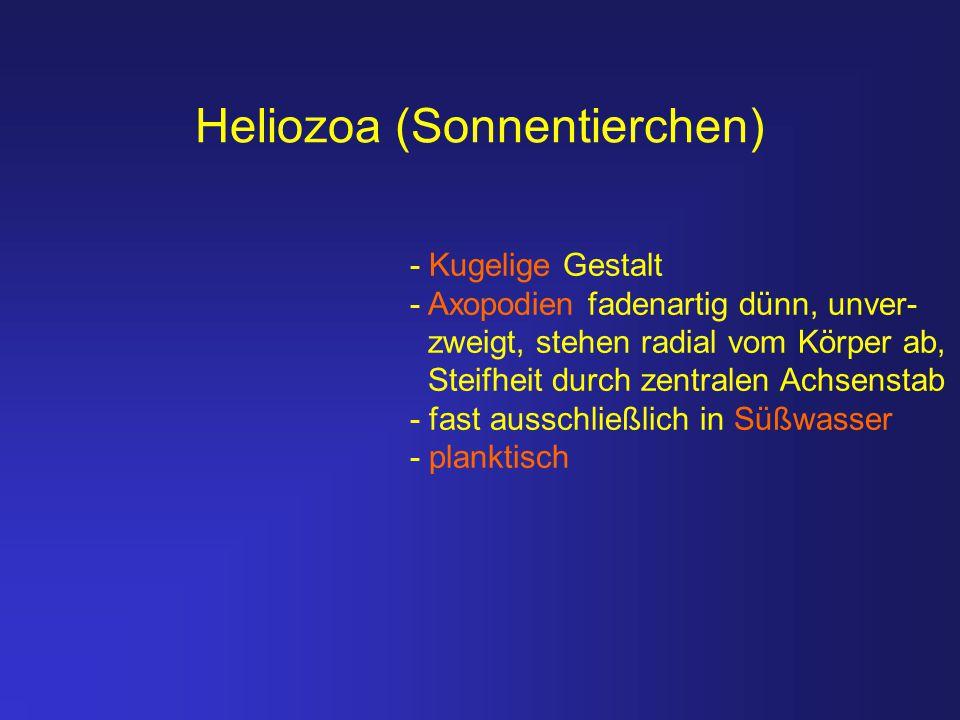 Heliozoa (Sonnentierchen) - Kugelige Gestalt - Axopodien fadenartig dünn, unver- zweigt, stehen radial vom Körper ab, Steifheit durch zentralen Achsen