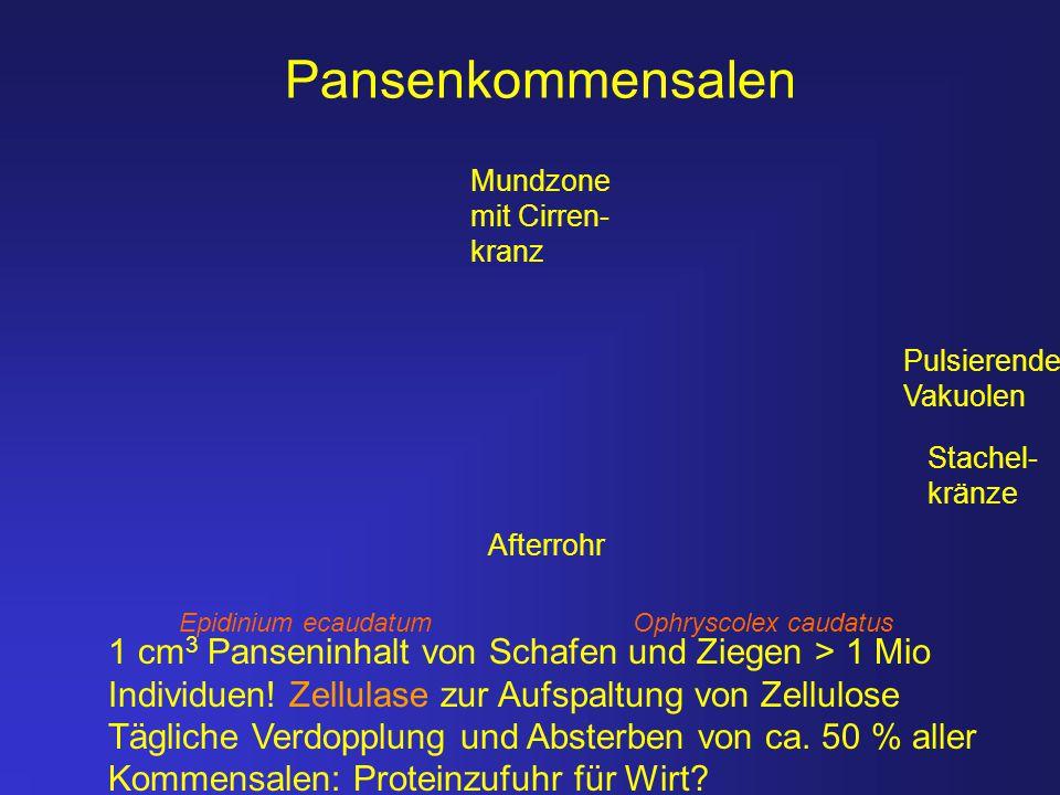 Epidinium ecaudatum Ophryscolex caudatus Pansenkommensalen 1 cm 3 Panseninhalt von Schafen und Ziegen > 1 Mio Individuen! Zellulase zur Aufspaltung vo