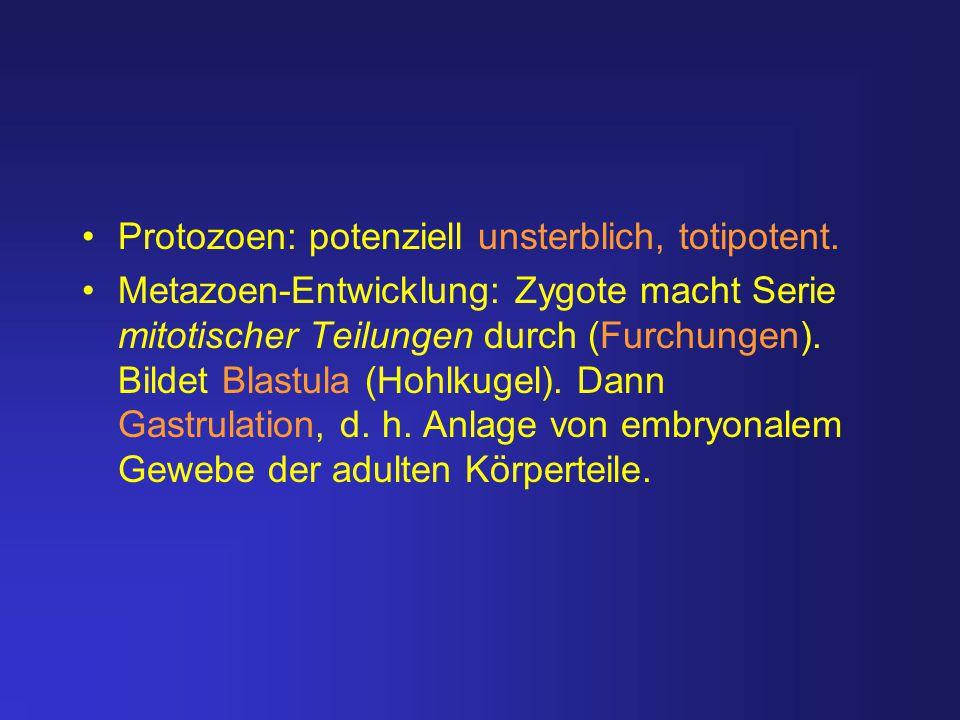 Protozoen: potenziell unsterblich, totipotent. Metazoen-Entwicklung: Zygote macht Serie mitotischer Teilungen durch (Furchungen). Bildet Blastula (Hoh